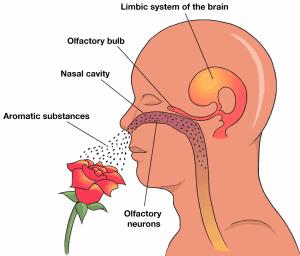 Olfactory Nerve - Artisan Aromatics