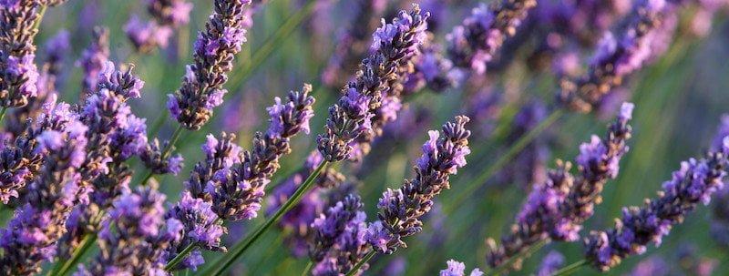 French Lavender | True Lavender