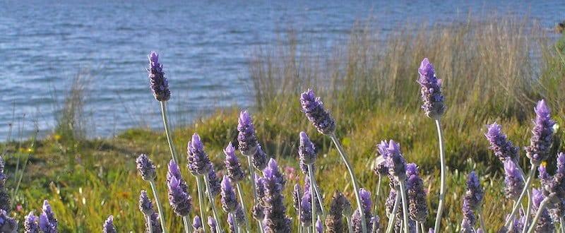Nosey Lavender Blend - Artisan Aromatics