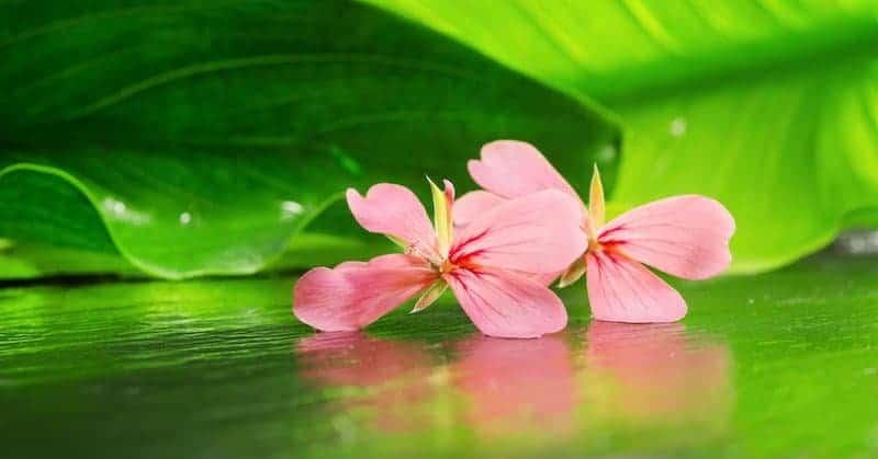 Rose Geranium Blog