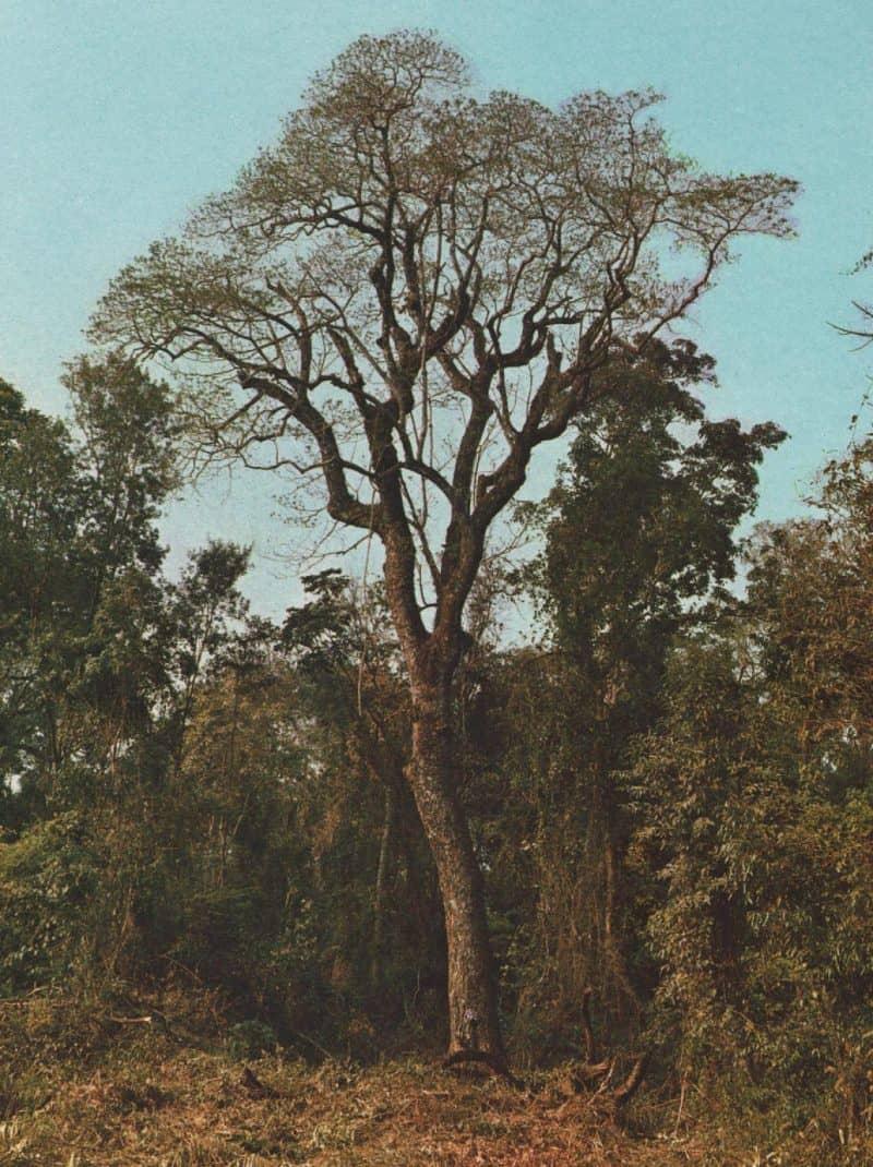Balsam Peru Resinoid Artisan Aromatics Myroxylon_peruiferum