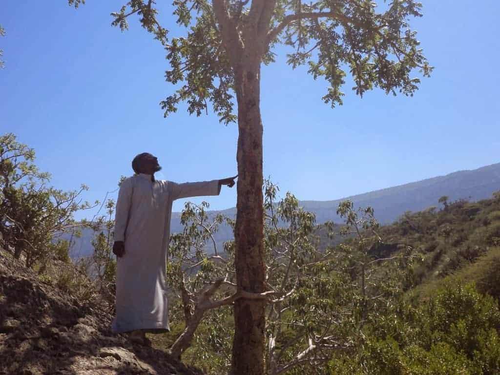 Sustainably harvested Frankincense resin Mohammed - Artisan Aromatics