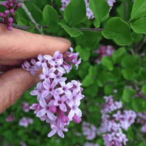 Lilac (Syringa vulgaris) - Organic Lilac Essential Oil