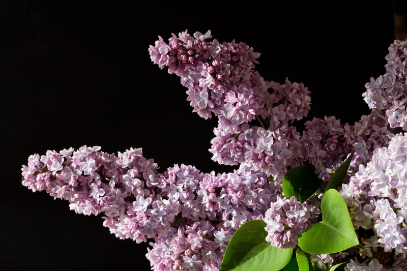 Organic Lilac Enfleurage Limited Edition Artisan Aromatics
