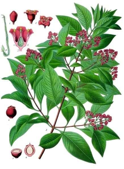 Sandalwood Hydrosol comes from the steam distillation of sandalwood