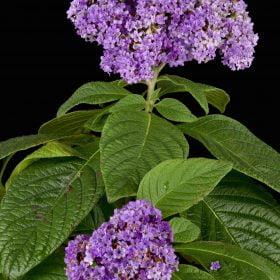 Heliotrope Enfleurage - Artisan Aromatics