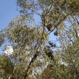 Eucalyptus Polybractea Essential Oil Artisan Aromatics