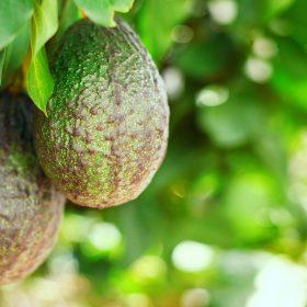 Avocado Oil Carrier Artisan Aromatics
