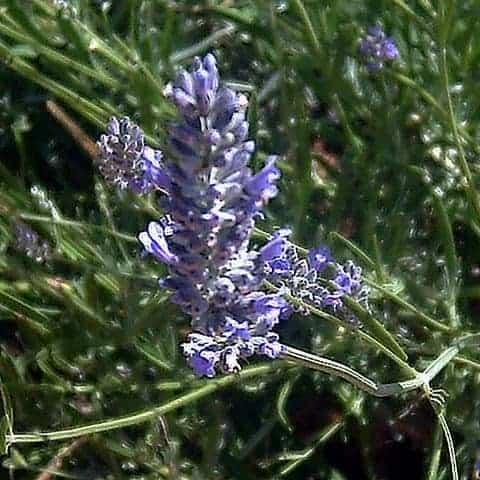 Spike Lavender-Lavandula_latifolia