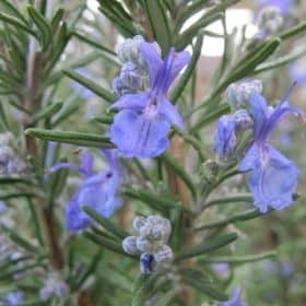 rosemary leaf used for organic rosemary hydrosol